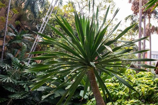 A giant spiky bush at the Jim Thompson House