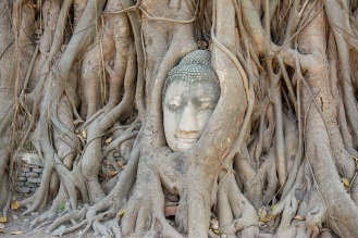 Buddha overgrown by a tree