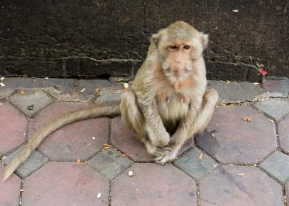 Lopburi Monkeys