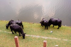 Cattle Grazing on the Banks of the Yamuna River