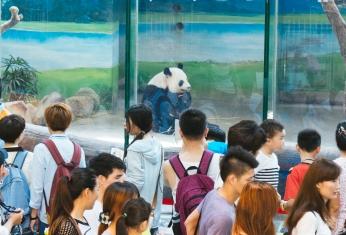 Panda viewing area